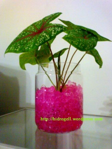 keladi pada hidrogell pink